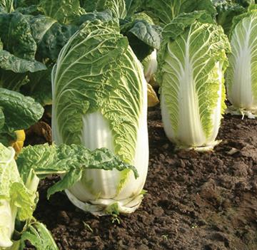 Cabbage_subhead